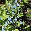 Frühlings-Gedenkemein, Omphalodes verna von VDG-Stauden auf Du und dein Garten