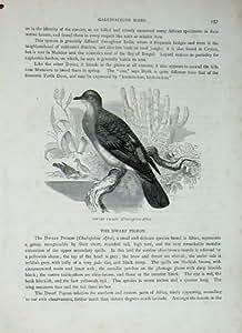 Pigeon Nain Gallinacé Afra des Oiseaux C1870 de Cassell