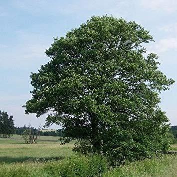 vegherb Semi Europea Ontano (Alnus glutinosa) 50 + Semi