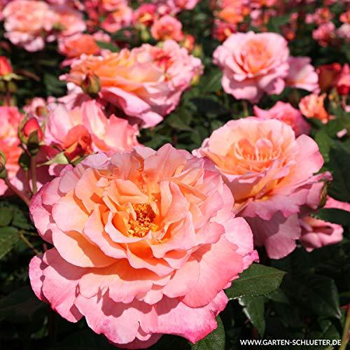 Edelrose Augusta Luise in champagner-rosé bis pfirsich - Duftrose winterhart - Rosen-Blüte in champagner-rosé bis pfirsich - Rose sehr stark duftend im 5 Liter Container von Garten Schlüter - Pflanzen