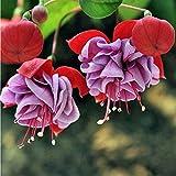 Fuchsien-Samen-Laterne-Blumensamen-Blumensamen seltene bunte Mischfarbe 10pcs / Bag einfach, Hausgarten zu wachsen