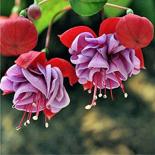 Leaftree Semilla de flor de linterna