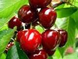 Nelesa Live Sweet Cherry Fruit Plant Barbados Cherry Plant