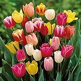 Portal Cool 100 Alto Misto Tulipani qualità Superiore Giardino bulbi Fiori di Primavera