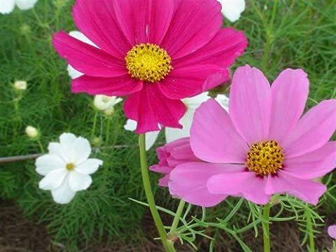 FES Quintessentials Flower Essences Services Cosmos 30ml Dosage by