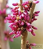 Hochstamm Chinesischer Judasbaum Avondale 80-100cm - Cercis chinensis