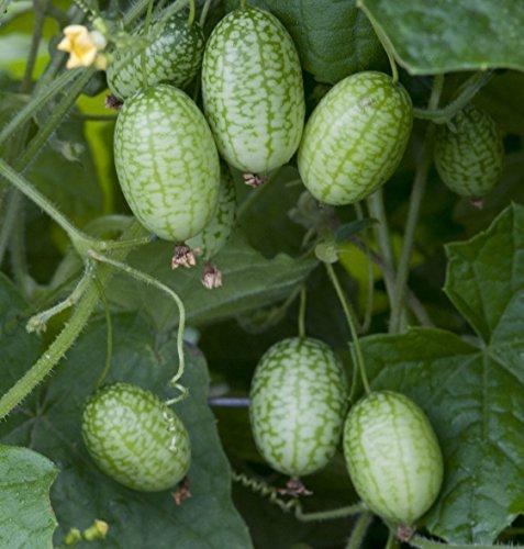 Seedeo® Mexikanische Mini-Gurke (Melothria trilobata) ca. 40 Samen BIO (Wassermelonen-gurken Samen)