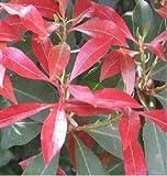 1x Pieris Japonica Forest Flame Pflanze Zimmer Garten Topf Neu K-P136