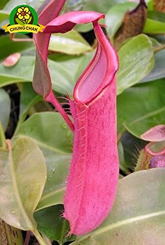 Manger moustiques Plantes carnivores Graines Nepenthes 200pcs / sac Pitcher Tropical Plante Catch insectes Jardin Bonsai pot Easy Grow 7