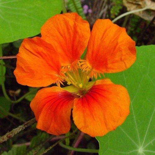 Tropaeolum Majus Vesuvius Seeds