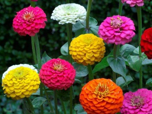 Zinnia Lilliput Mix - Blume - 100 Samen -