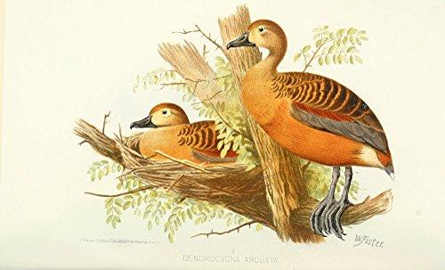 Whistling Duck (Foster. W.H. – Indian Sporting Birds 1915 Wandering Whistling Duck Kunstdruck (60,96 x 91,44 cm))