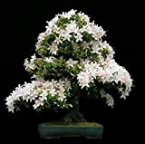 #5: Imported Water Jasmine Bonsai Seeds -By Creative Farmer