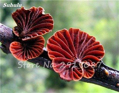 Nouveau 50 Pcs Ganoderma Graines Reishi Champignons Graines Graines de légumes biologiques pour jardin plantes non Ogm 15