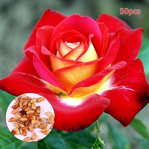 Kisshes giardino - 30/50 pezzi semi di rosa ibridi semi di fiori rosa arcobaleno rosa fiori colorati semi per il vostro giardino balcone lungo fioritura hardy
