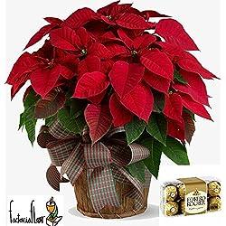 Poinsettia o flor de Pascua NATURAL, planta de navidad envoltorio de regalo+ Ferrero Roche 200 gr. Añade tu dedicatoria
