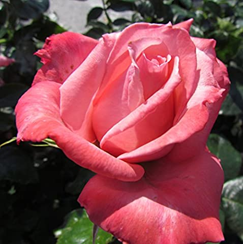 VICTORIA - 4lt Potted Hybrid Tea Garden Rose Bush - Large Deep Pink Fragrant Flowers, Repeat Flowering, The Perfect 'Victoria' Gift - Exclusive!
