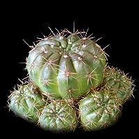 Notocactus ottonis seeds