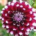 Keland Garten - 20 Stück Pompondahlie variabilis Blumensamen Bio-Saatgut, geeignet für Hintergrundpflanze, Steingärten, Balkon, Terrasse, in Kübeln oder Schalen von Keland bei Du und dein Garten
