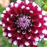 Yukio Samenhhaus - 20 Stück Dahlien Samen Bauernschönheit Pompondahlie Petra´s Wedding wetterbeständig, Für Hausgarten, Vase, Beetbepflanzung und Schnitt