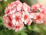 UPSTONE Garten - Südafrika Geranie Samen PelargoniumPelargonieals Rabatte-, Beet-, Topf-, Balkon- oder Kübelpflanze mehrjährig winterhart (50, Bunt)