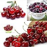 SANHOC 20 pz Nano Ciliegio Bonsai gaint Asilola Cherry Le Piante da frutto in Vaso perenni impianto Cerasus pseudocerasus Frutta
