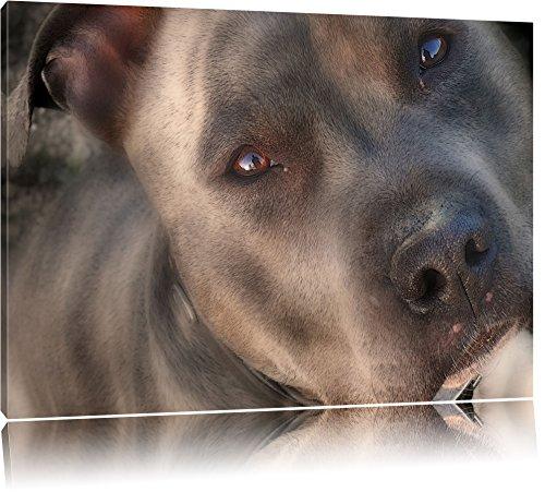 schöner Pit Bull Terrier auf Leinwand, XXL riesige Bilder fertig gerahmt mit Keilrahmen, Kunstdruck auf Wandbild mit Rahmen, günstiger als Gemälde oder Ölbild, kein Poster oder Plakat