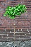 Fächerblattbaum Stämmchen Ginkgo biloba Mariken 80 cm Stammhöhe im 5