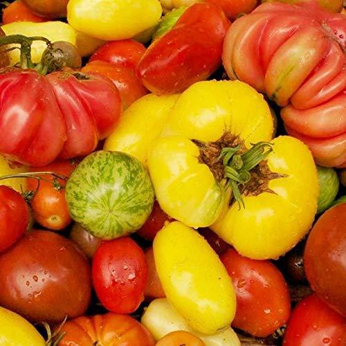 Pinkdose® Verkauf 100 Stücke Mix Farbe Tomatenpflanzen Vier Jahreszeiten Sukkulenten Verschönern Hof Obst Und Gemüse Bonsai: Lila