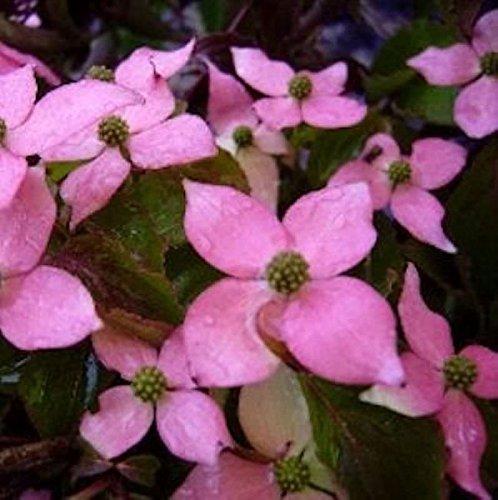 Japanischer Blumen Hartriegel Beni Fuji 60-80cm - Cornus kousa (Hartriegel-blumen)