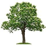 Trompetenbaum/Bienenfreundlich / Tabebuia impetiginosa / 10 Samen