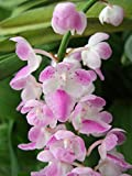 #5: Live Aerides Multiflora orchid Plant