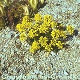 Immergrünes Felsenblümchen - Draba aizoides