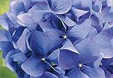 Fototapete HORTENSIA 368x254cm, Blüten, Staude Hortensien, Blumen violett, lila