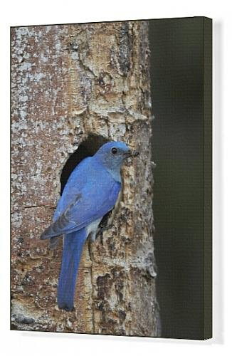 canvas-print-of-male-mountain-bluebird-sialia-currucoides-with-food-at-the-nest-yellowstone