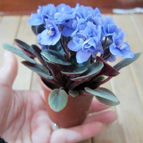 bonsai-planta-de-semilla-de-flor-hermosa-mini-cielo-semillas-violetas-africanas-azules-30-semillas