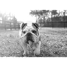 BullDog inglese (2)–Amazing Lovely–migliore qualità–Nuovo–Poster–Poster con cane cucciolo migliore immagine–Miglior prezzo–A3