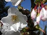 Zierkirsche Brillant - Prunus kurilensis Brillant - Kurilen-Kirsche