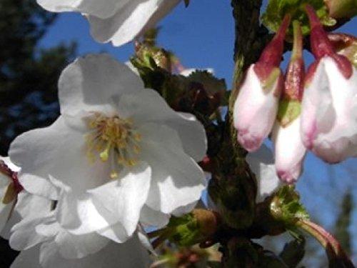 Kurilen (Zierkirsche Brillant - Prunus kurilensis Brillant - Kurilen-Kirsche)