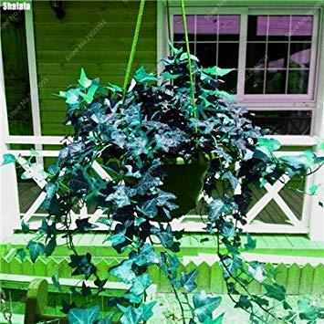 100 pcs / sac exotiques Graines rares Couleur extérieure hybride Escalade Blooming Bonsai Potted Plant for Lvy Décor de jardin 1
