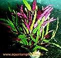 3 Bunde Hemigraphis repanda, prachtvolle Pflanze von 785 auf Du und dein Garten