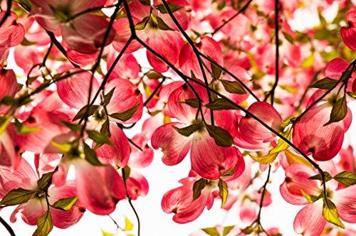 Primavera Poster (Pixtury Premium-Poster auf glänzendem Fotopapier 80x120 cm - Fiori di Cornus Florida)