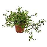 Hierba Jabonera 10cm Saponaria Officinalis Planta Natural