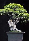 Tropica - Bonsai - Chinesische Ulme (Ulmus chinensis) - 30 Samen