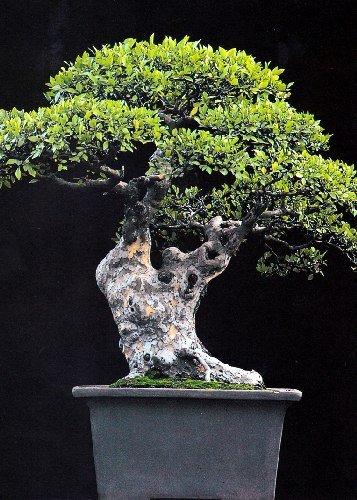 Tropica - Bonsai - Chinesische Ulme (Ulmus chinensis) - 30 Samen (Chinesische Samen)