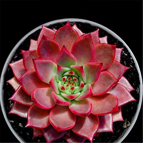 Bornbayb 100 Pcs Graines Succulentes Multi Couleur Bonsaï Plantes Graines Graines De Fleurs pour la Maison et Le Jardin