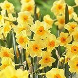 Mini-Narzissen-Zwiebeln Golden Dawn Blumenzwiebeln Osterglocken - Mini-Narzisse - mehrjährig - 5 Narzissenzwiebeln von Garten Schlüter - Pflanzen in Top Qualität