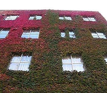 Seeds 120Pcs Topf seltsame Pflanzen Ivy Außen Bonsai ()