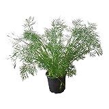 Dill: frische Dill-Pflanze im großen Topf - Küchenkräuter in bester Gärtnerqualität - Gewürz-Pflanze für Fisch-Gerichte