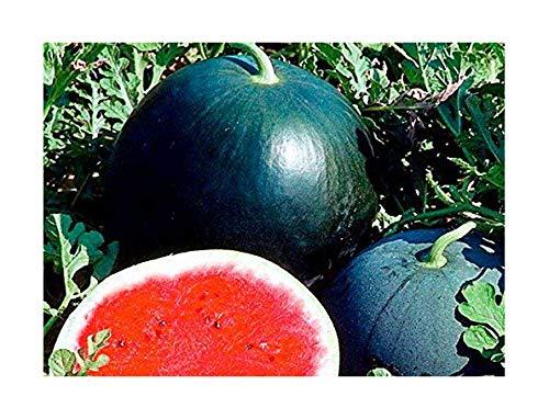 Melone – Wassermelone Sugar Baby – Zucker Baby – 100 Samen